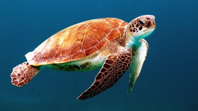 DNS_Sea_Turtle